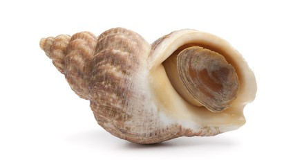 Whole single fresh raw common whelk